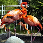 Flamands rose